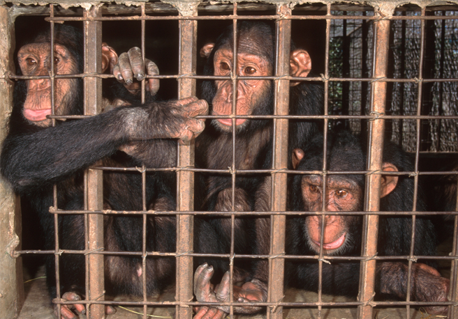 Caged chimps