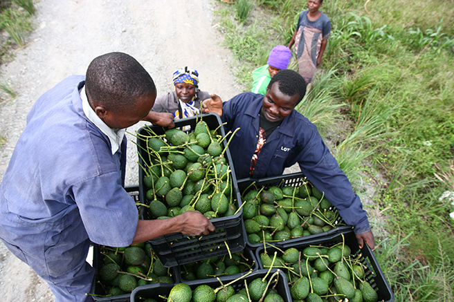 Awf harnesses the power of africa s private sector to for Avocado coltivazione