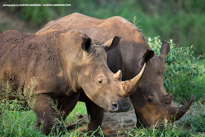 A pair of rhino, one species protected under the END Act