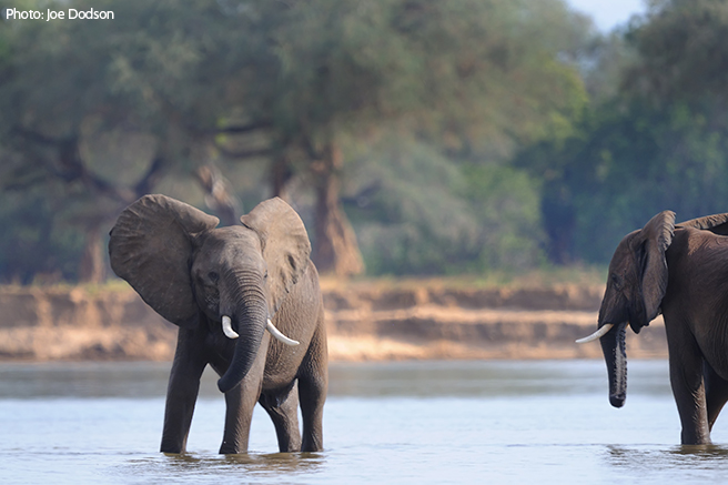 AWF Urges Moratorium on Sport Hunting of Elephants