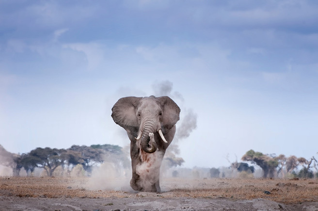 An elephant kicks up dust in Tanzania