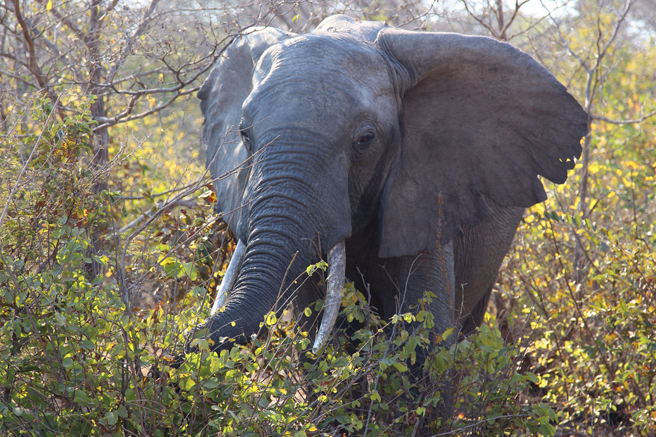 Elephant in Kafue National Park