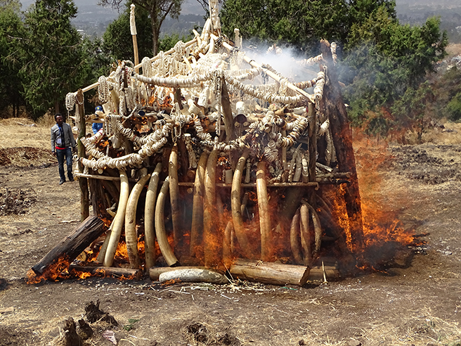 Ethiopia's Ivory Stockpile Goes Up in Flames