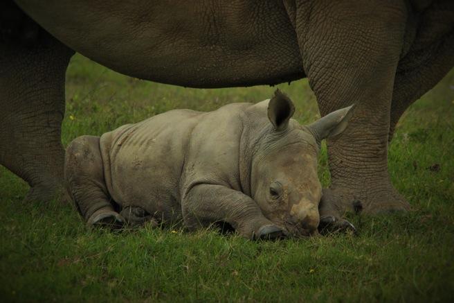 Thandi and her calf