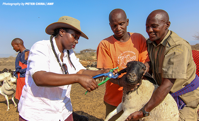 Kahembo Odera helped tag livestock at Manyara Ranch during her CLMP orientation