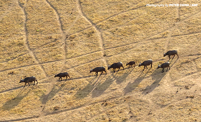 Buffalo viewed from the air during the wildlife census
