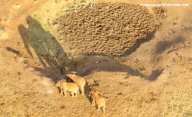 Elephants viewed from a plane during the wildlife census