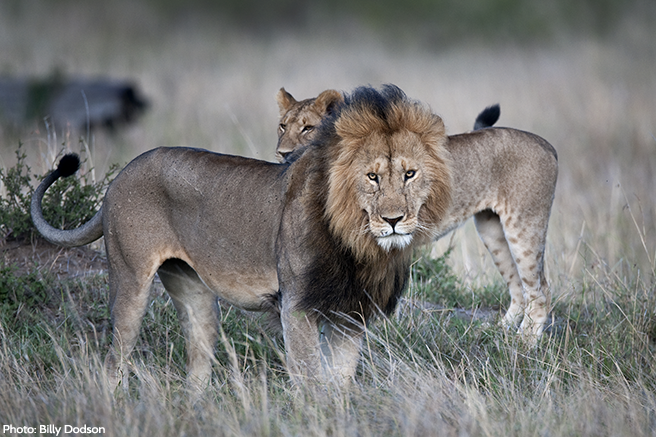 AWF Calls for Moratorium on Lion Hunting in Africa