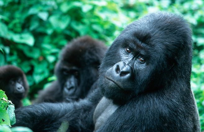 Mountain gorillas in Virunga. Photo by: Martin Harvey