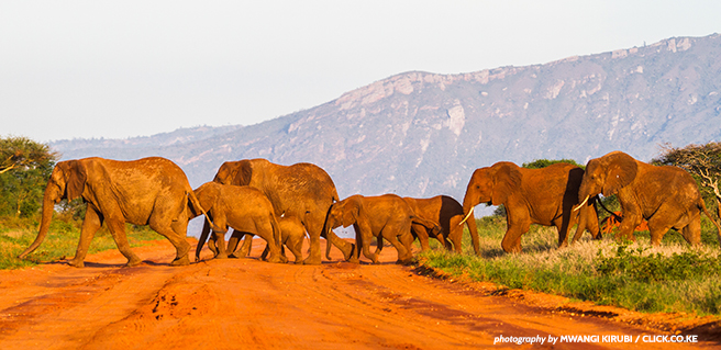 A herd of elephants on the move