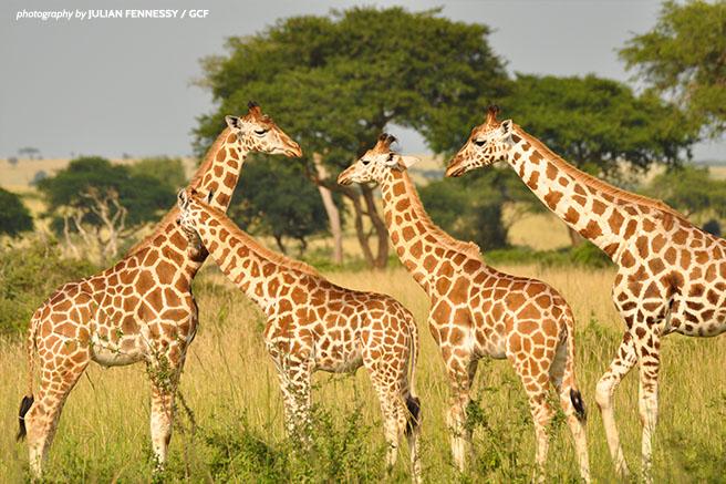 Northern giraffes