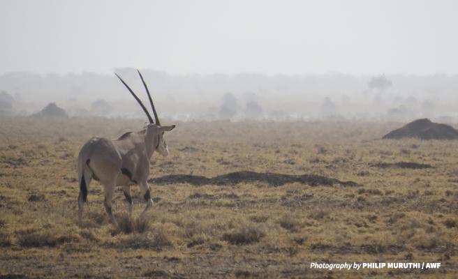 Oryx in Ethiopia's Hallaydeghe Reserve