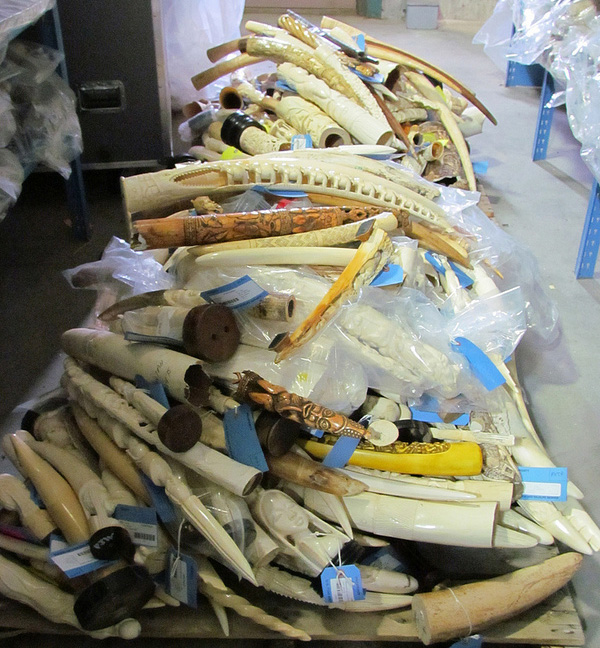 A pallet of raw, polished and carved elephant tusks at US Fish and Wildlife Service headquarters.