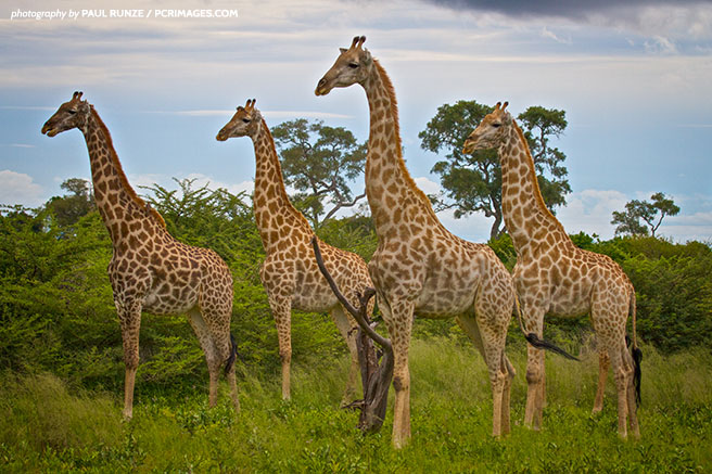 New research points to the existence of four giraffe species, not one.