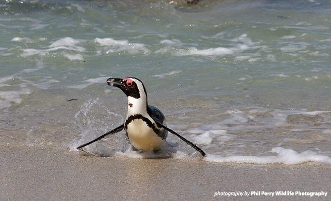 African penguins are swimming farther in search of food
