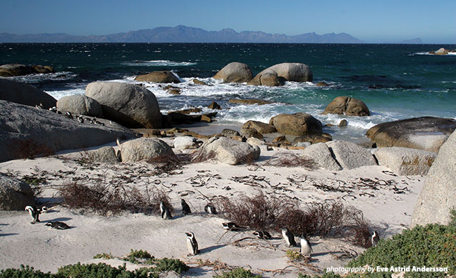 African penguins inhabit Southern African waters