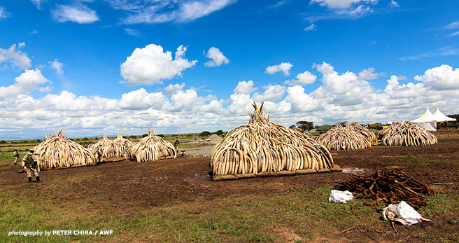 Ivory pyres waiting to be burned in Kenya earlier this year