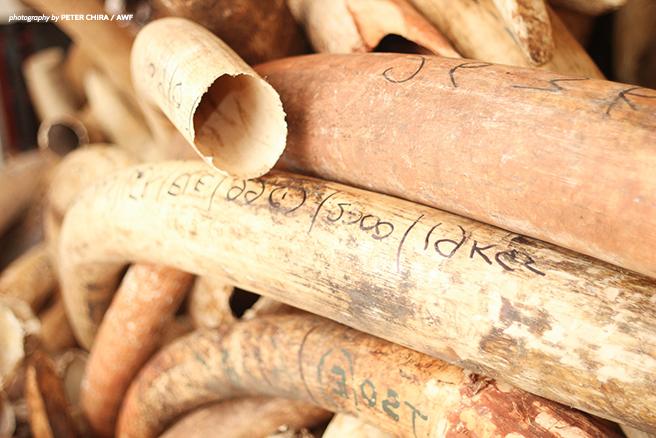 ivory tusk stockpile