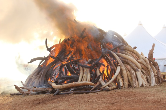 15 tonnes of ivory are destroyed in Kenya's Nairobi National Park.