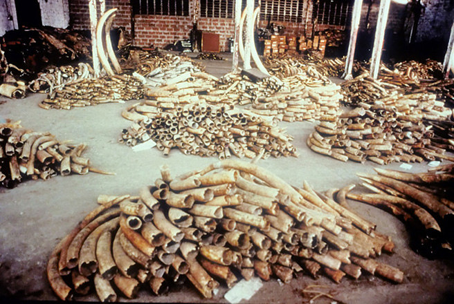 Stockpiles of confiscated illegal ivory from poached elephants. Photo by: AWF