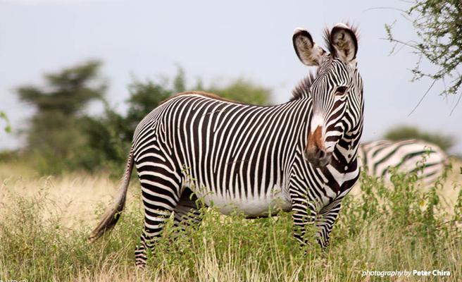 Samburu landscape is a key habitat for Grevy's zebra