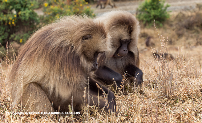 gelada monkeys grazing