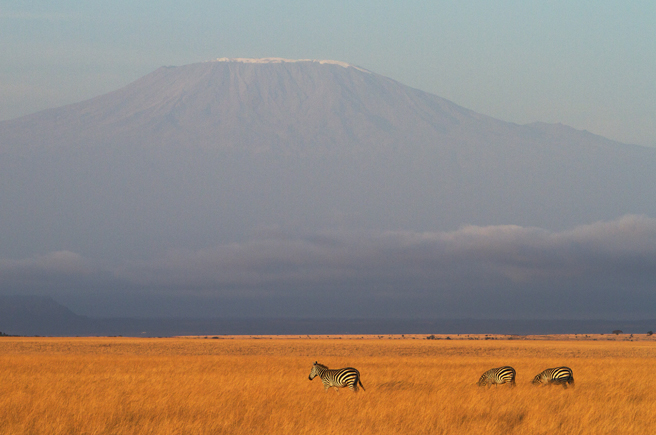 Zebras on the plains in Kilimanjaro landscape