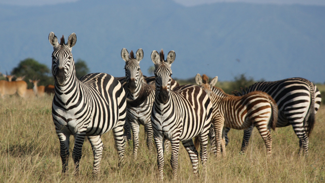 Zebras at Manyara Ranch Conservancy