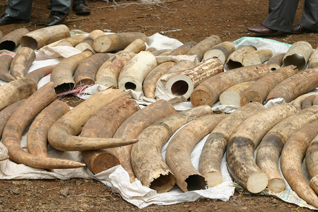 Ivory from poached elephants that was confiscated by authorities. The new Advisory Council aims to prevent future poaching.