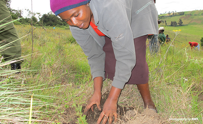 AWF planted 500,000 seedlings with communities to restore the Mau Forest