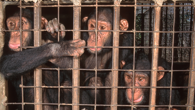 Trafficked chimps