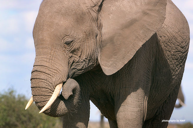 AWF Statement on CITES Proposals 14, 15, 16