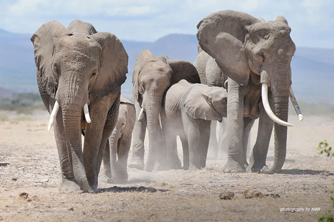 Closure of Domestic Markets for Elephant Ivory