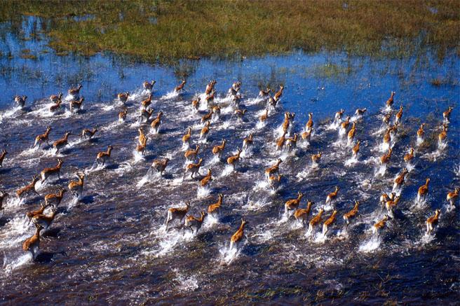 Impala crossing the delta