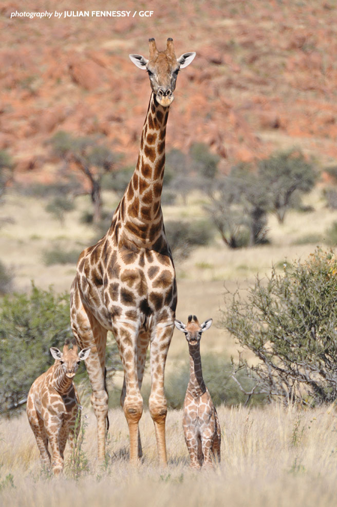 Three southern giraffes