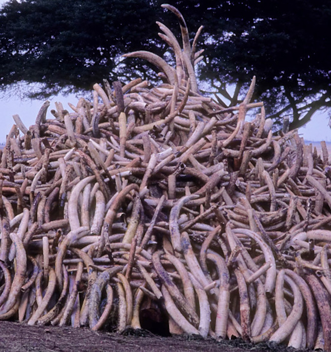 Stockpile of confiscated illegal ivory