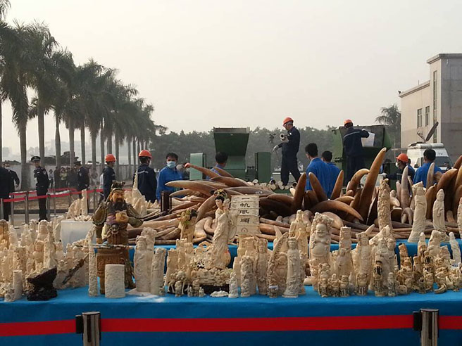 China crushes destroys 6 tons of illegal ivory in Dongguan on January 6, 2014