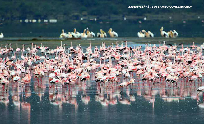 Photo of flamingos in Lake Nakuru with great white pelican in the background