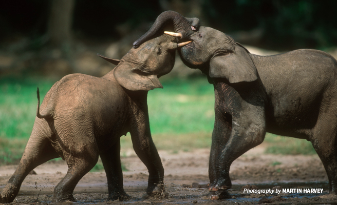 Photo of two young forest elephants fighting in Bili-Uele landscape