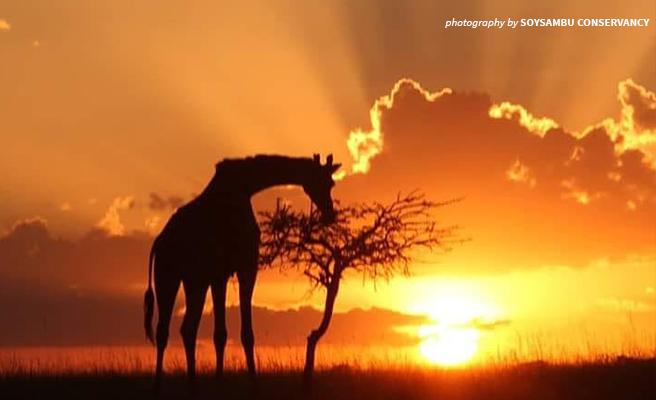 Photo of giraffe standing against sunset in Soysambu Conservancy