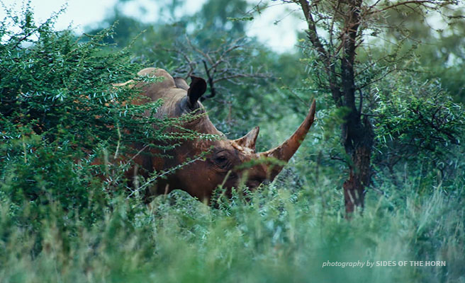 Image of a rhino in the bush.