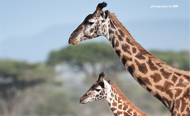 A close up photo of two giraffes