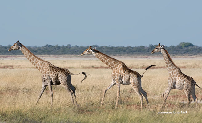 Image of three giraffes running through the savanna.