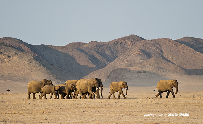 Photo of elephant herd in the Damaraland desert landscape in Namibia