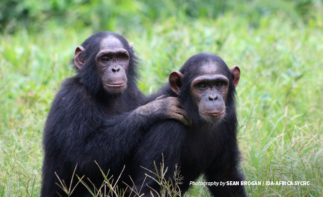 Photo of two young chimpanzees at rescue centre in Cameroon