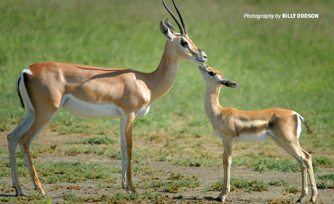 Photo of Grant's gazelle grazing in savannah grassland in Tanzania