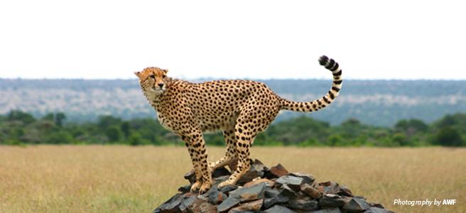 Photo of cheetah standing on rocks in savannah grassland in Kenya