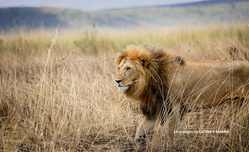 Photo of lone adult lion in savannah grassland at Olderkesi Community Wildlife Conservancy