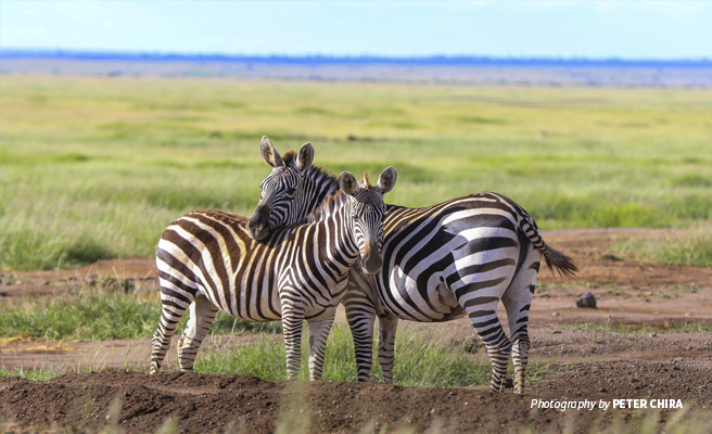 Photo of two zebras in open savanna grassland in Amboseli National Park in Kenya