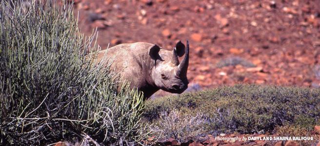 Photo of black rhino in desert landscape in Namibia